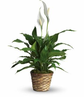 Sympathy Peace Lily 8""