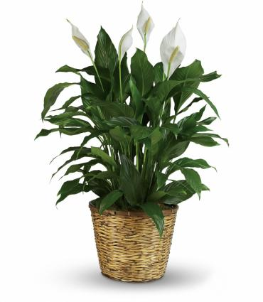 Sympathy Peace Lily 12""